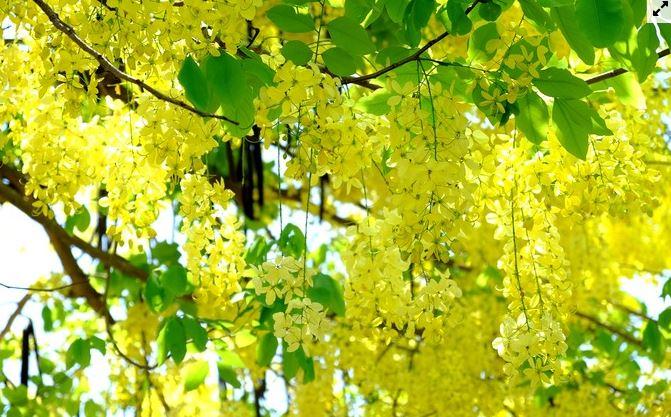 hội an rực rỡ sắc vàng vào hè
